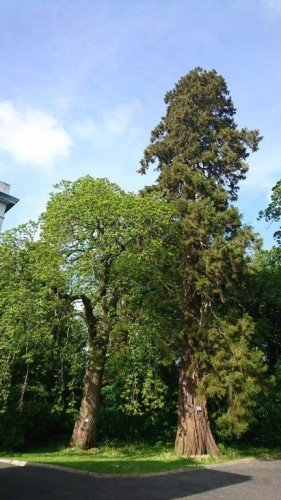Giant Redwood Trees at Leixlip Manor & Gardens